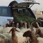 Range Rover je ideální auto pro pastevce ovcí
