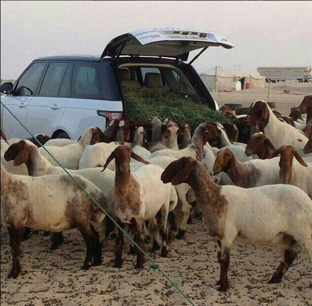 range-rover-used-as-sheep-feeder-arab-hillbillies-video_1