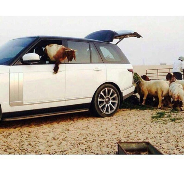 range-rover-used-as-sheep-feeder-arab-hillbillies-video_2