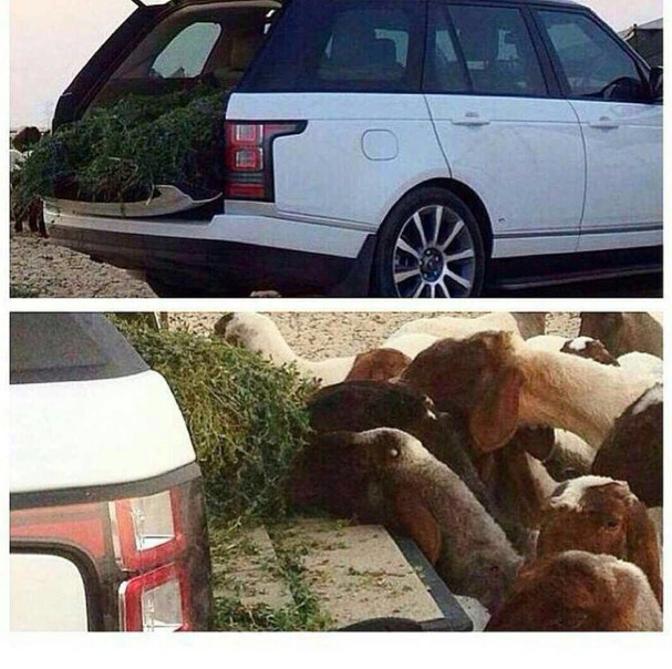 range-rover-used-as-sheep-feeder-arab-hillbillies-video_3